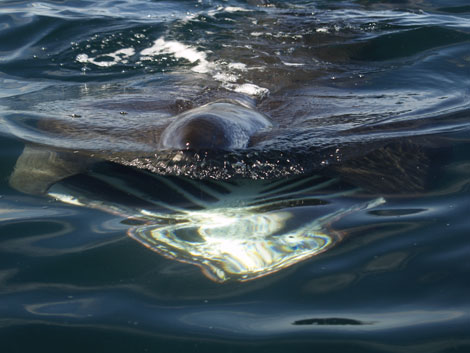 Basking Shark, North Cornwall